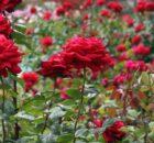 ogrod zaslany rozami